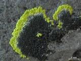 Image of Carbonea assimilis
