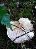 Albatrellus avellaneus image
