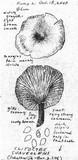Clitocybe suaveolens image