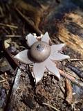 Geastrum lloydianum image