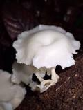 Lentinus concavus image