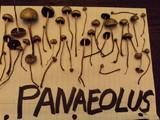 Panaeolus cinctulus image