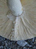 Amanita rhopalopus image