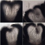 Graphis elegans image