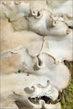 Peltigera rufescens image