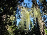 Usnea alpina image