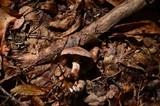 Cortinarius torvus image