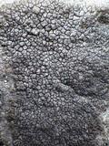 Diploschistes caesioplumbeus image