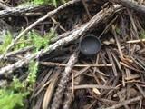 Plectania nannfeldtii image