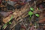 Sphaerobolus stellatus image