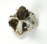 Cortinarius magnivelatus image