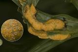 Image of Puccinia aconiti-rubri