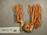 Ramaria araiospora image