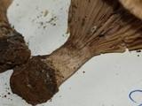 Cleistocybe vernalis image