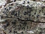 Hysterium angustatum image