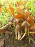 Coprinopsis erythrocephala image