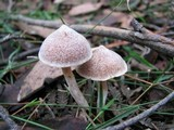 Cortinarius cystidiocatenatus image