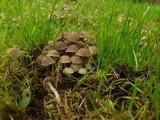 Psathyrella pygmaea image