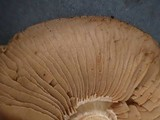 Hebeloma velutipes image