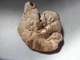 Agaricus subfloccosus image