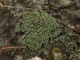 Cladonia caespiticia image
