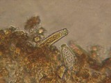 Inocybe salicis image