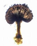 Phaeocalicium populneum image