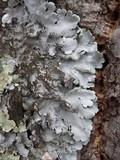 Parmotrema tinctorum image