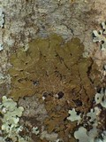 Melanelixia subaurifera image