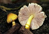 Pluteus mammillatus image
