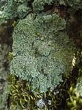 Physconia distorta image