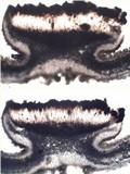 Lasallia hispanica image