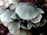 Clitocybula azurea image