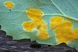 Allodus podophylli image