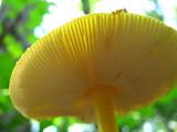 Amanita frostiana image
