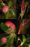 Exobasidium rhododendri image