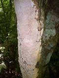 Fuscoporia contigua image