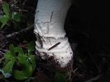Amanita aprica image