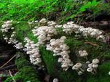 Clitocybula abundans image