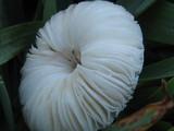 Chlorophyllum hortense image