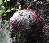 Tubercularia lateritia image