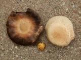 Agaricus nanaugustus image