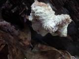 Nectriopsis tremellicola image