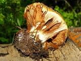 Cortinarius verrucisporus image