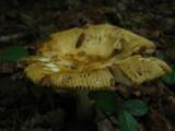 Russula grata image