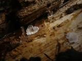 Pleurotellus chioneus image