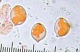 Chrysomphalina strombodes image