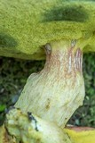 Boletus miniato-olivaceus image