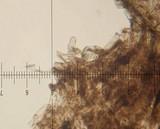 Strobilomyces confusus image