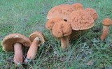 Leccinum rugosiceps image